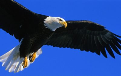 Senate Committee Passes Boscola Bill to Further Protect Bald and Golden Eagles